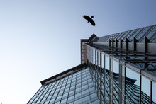 Crow Flying In The Cityscape