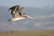 A Brown Pelican (Pelecanus Occidentalis) In Flight At Moss Landing California.