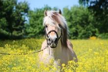 Beautiful Fjord Horse Head Por...