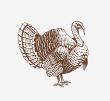 Turkey Hand Drawn Illustration...