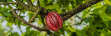 Cacao Tree Theobroma Cacao. Organic Cocoa Fruit Pods In Nature BANNER, Long Format
