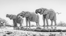 Three African Elephants (Loxod...