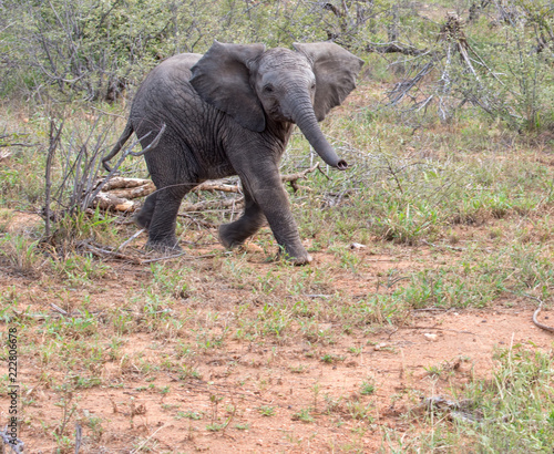 Foto op Aluminium Olifant African elephant calf (Loxodonta africana) running towards camera from open bush with trunk raised