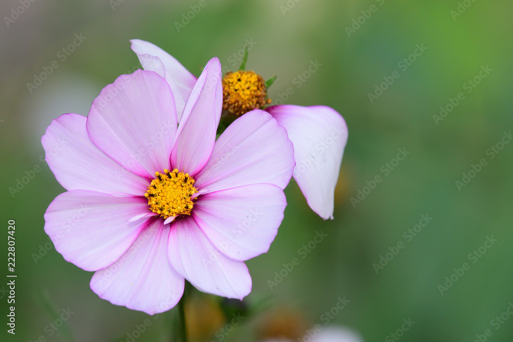 Close Up Of A Pink And White Cosmos Flower In Bloom Foto Poster