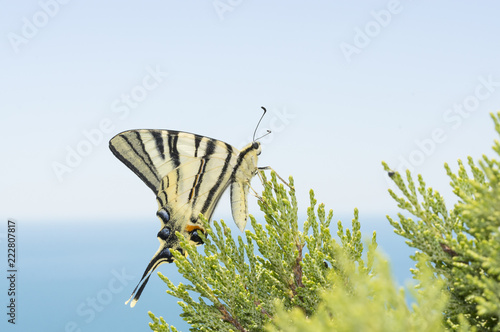 Valokuva  Podalirius butterfly sitting on a green leaf of juniper