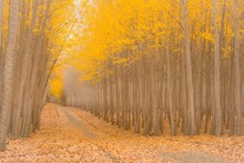 A Road Driving Through A Magical Poplar Tree Forest In Autumn