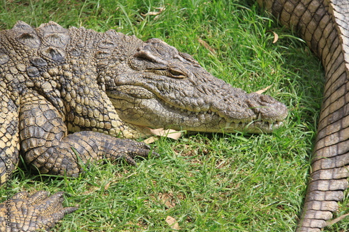 crocodile with mouth closed
