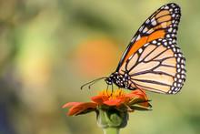 Butterflies Are Enjoying A Sun...