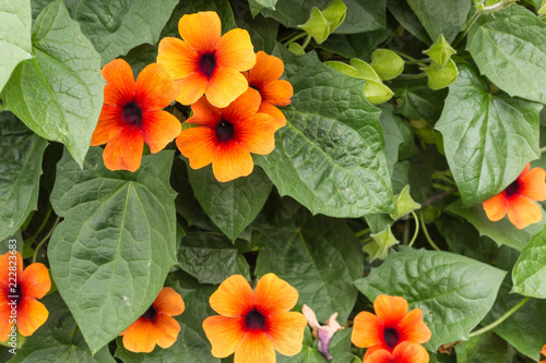 black-eyed Susan vine - thunbergia alata Canvas-taulu