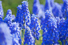 Grape Hyacinth Flowers Closeup...