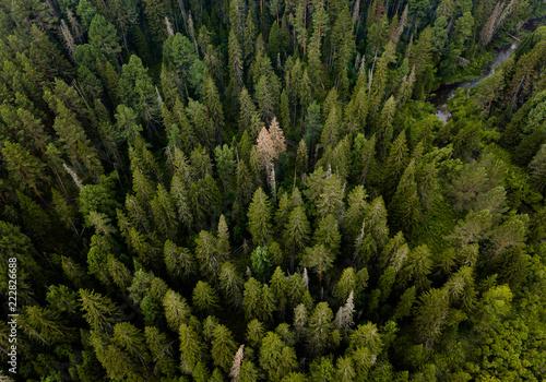 Fototapeta Taiga forest from aerial view. Nature landscape. Coniferous forest. Siberia, Russia obraz