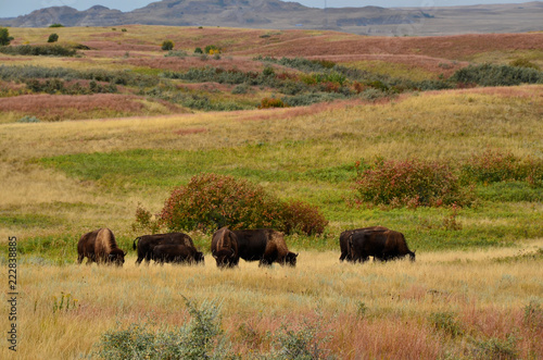 Keuken foto achterwand Buffel Herd of buffalo grazing the prairie of North Dakota.