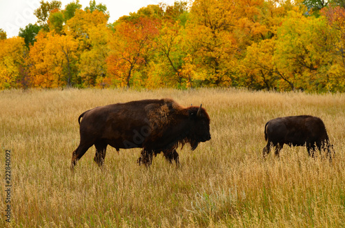 Tuinposter Buffel Close up of wild buffalo roaming and grazing the prairie of North Dakota.