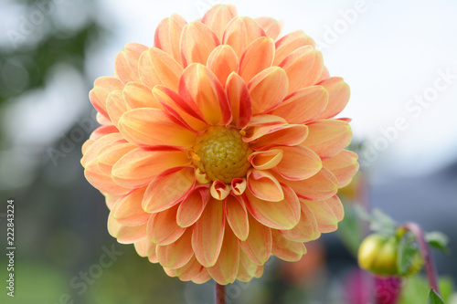 Deurstickers Dahlia Peach-coloured dahlia bloom