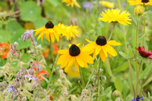 Three Rudbeckia Flowers With Bright Yellow Petals