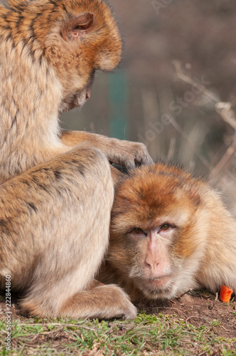 Foto op Canvas Aap Barbary apes - Macaca sylvanus taking care of themselves