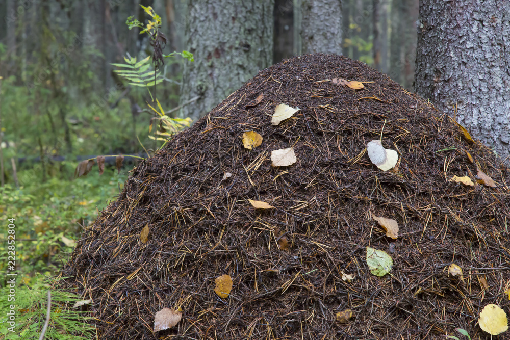 Photo & Art Print Ant hill in the forest | EuroPosters