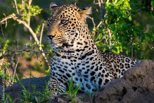 Tuinposter Luipaard Leopard called Quarantine
