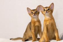 Abyssinian Kittens. Ancient Cat Breed. Favorites Of Egyptian Pharaohs. In Honour Of The Country Of Abyssinia (Ethiopia).
