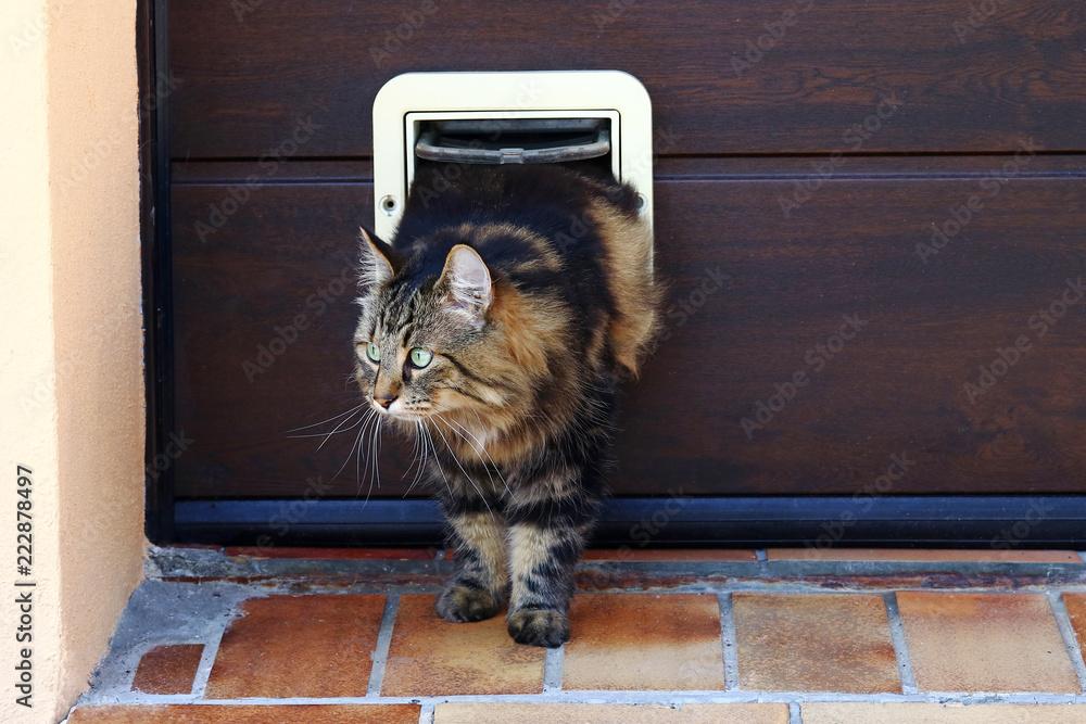 Eine Katze geht durch eine Katzenklappe. Norwegische Waldkatze vor einer Katzenklappe