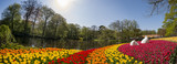 Fototapeta Tulips - Super colorful tulips blossom in the famous Keukenhof
