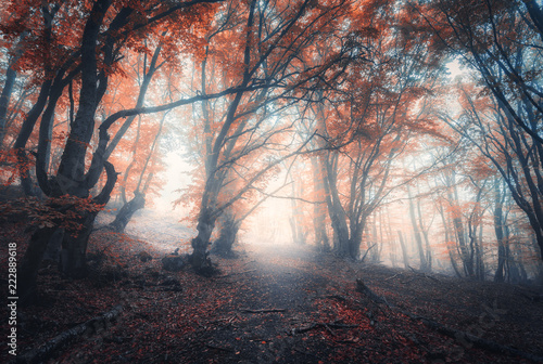 Papiers peints Forets Beautiful fairy forest in fog in autumn. Colorful landscape with enchanted trees with orange and red leaves on the branches. Scenery with path in dreamy foggy forest. Fall colors in october. Nature