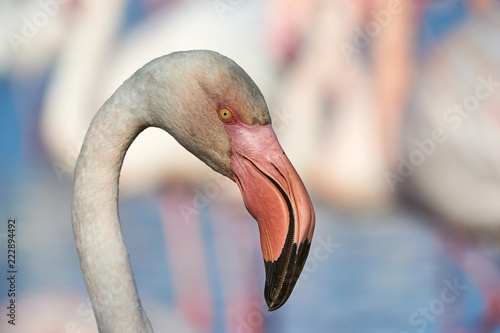 Portrait of a beautiful Flamingo