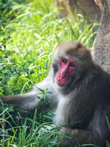 Foto op Canvas Aap Close up photograph of a Japanese macaque or snow monkey as it sits in the lush green grass on a hot summer day to cool off.
