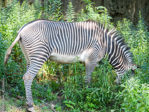 Tuinposter Zebra A black and white striped male grevy zebra grazes on green plants outside on hot summer day.
