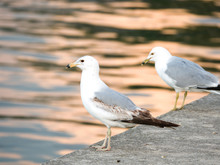 Two Seagulls Sitting On The Edge Of Curved Concrete Walkway Surrounding Montrose Boat Boat Harbor At Sunset In Chicago With Orange Color Reflecting On The Rippled Water.
