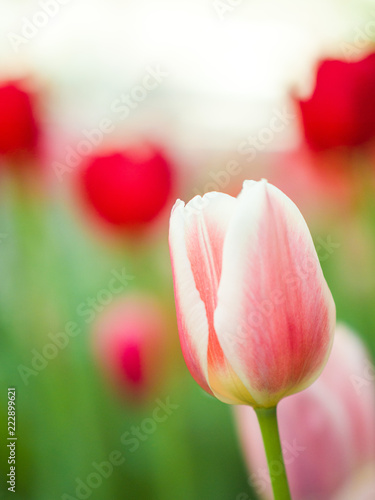 Photo  Beautiful close-up flower macro photo of pink and red tulips planted in a garden along the streets in downtown Chicago in spring with blurred bokeh background