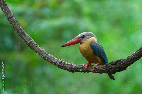 Fotografering  Stork-billed Kingfisher bird perching on the branch