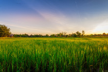 Green Rice Field At Sunset Time