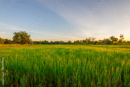 Photo sur Aluminium Sauvage Green rice field at sunset time
