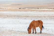 Icelandic Horse Eating In Wint...