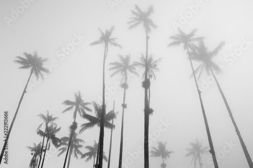 Photo  A forest of wax palm trees growing high in the sky disappear in the mist, in Coc