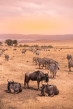 Fototapeta Sawanna - Landscape of Ngorongoro crater -  herd of zebra and wildebeests (also known as gnus) grazing on grassland  -  wild animals at sunset - Ngorongoro Conservation Area, Tanzania, Africa