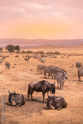 Obraz Landscape of Ngorongoro crater -  herd of zebra and wildebeests (also known as gnus) grazing on grassland  -  wild animals at sunset - Ngorongoro Conservation Area, Tanzania, Africa - fototapety do salonu