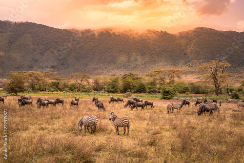 Photographie Landscape of Ngorongoro crater -  herd of zebra and wildebeests (also known as g