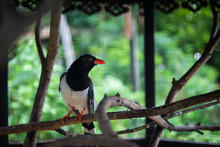 Blue Magpie On Tree Branch