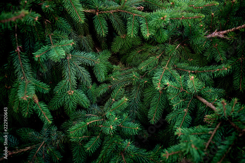 Fotomural Christmas  Fir tree brunch textured Background