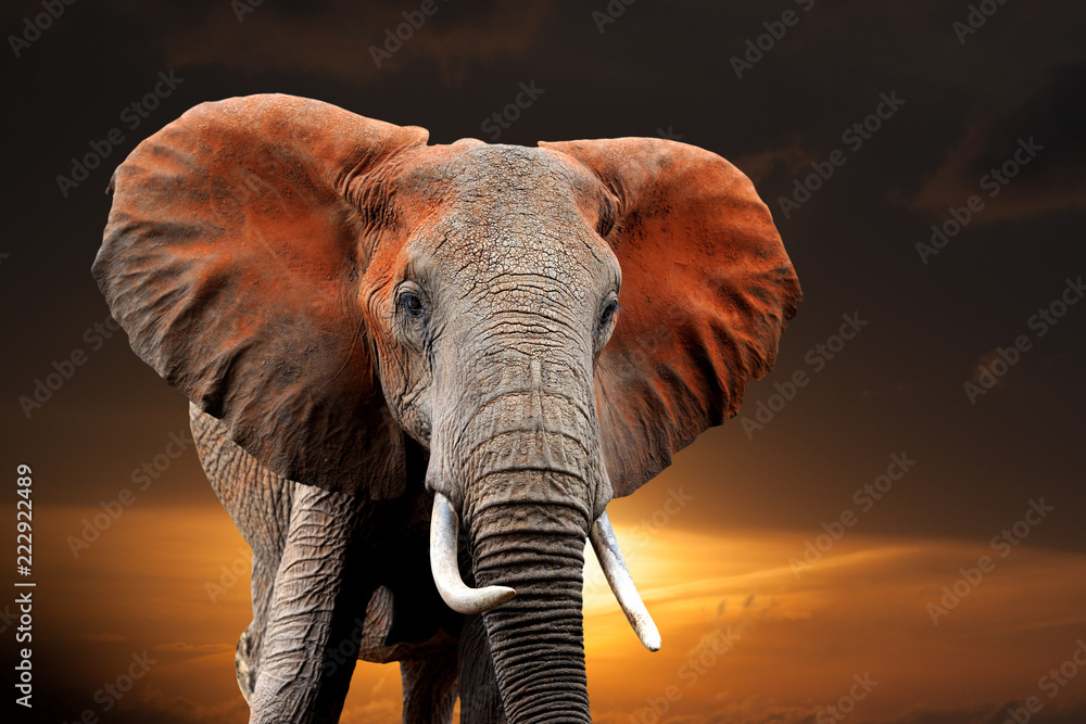 Elephant on sunset