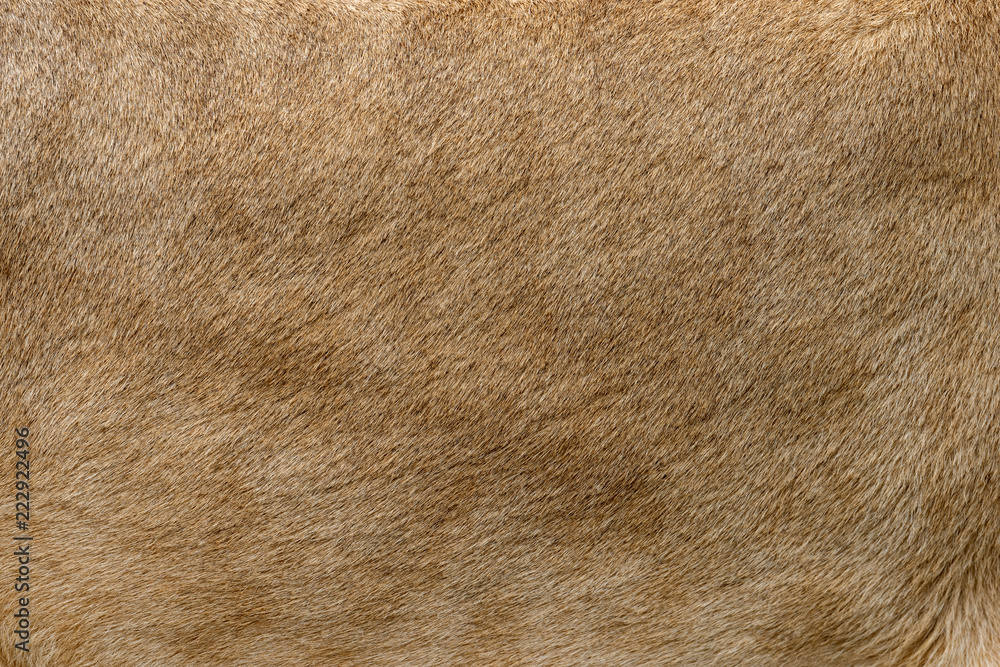 Fototapeta Closeup real lion fur texture
