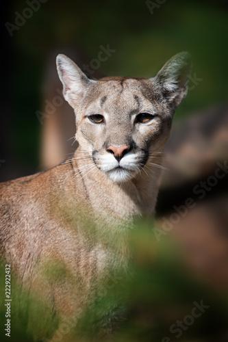 Fototapeta premium Portret kuguara, lwa górskiego, pumy