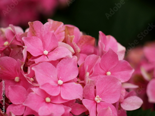 Staande foto Roze Pink hydrangea or hortensia, close up