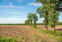 Row Of Narrow And Tall Oak Trees Next To A Corn Stubble Field