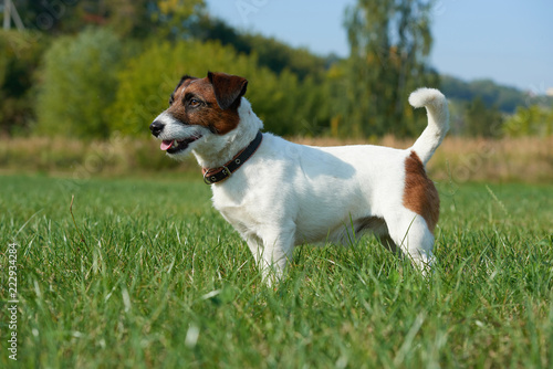 Obraz dog runs around the field breed Jack Russell Terrier - fototapety do salonu