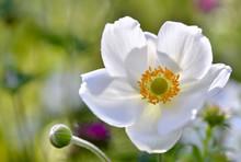 Closeon White Windflower In Greean Background
