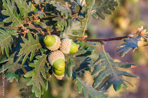 Rama con hojas y bellotas de Roble Melojo. Rebollo. Quejigo. Quercus pyrenaica.