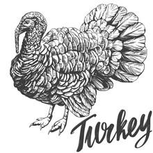 Turkey Domestic Fowl Hand Draw...
